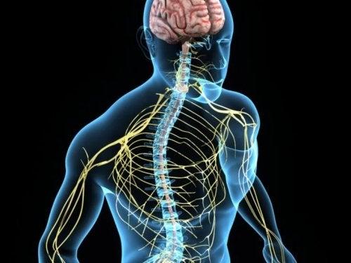 Sistema nervoso do corpo humano