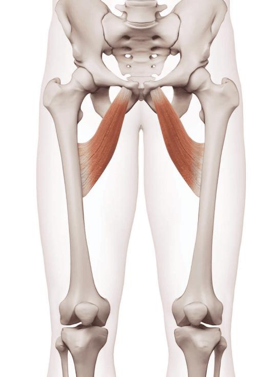 Imagem esquemática da posição dos músculos adutores.