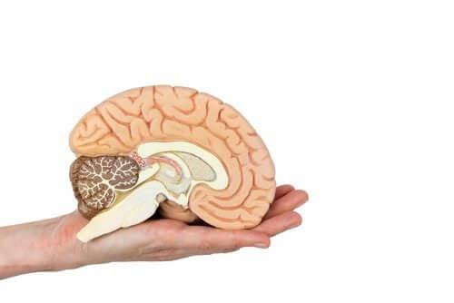 Miniatura de cérebro