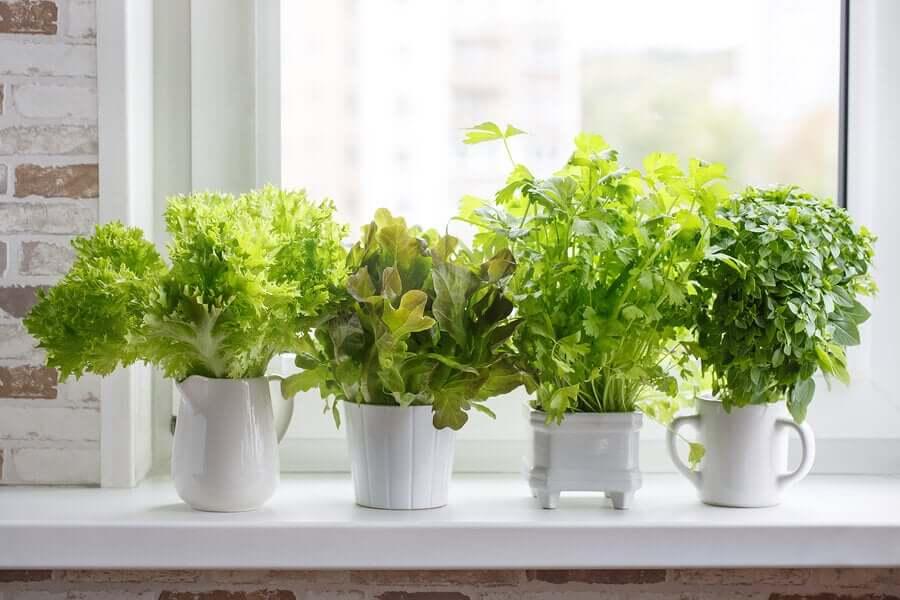 Como cultivar ervas aromáticas