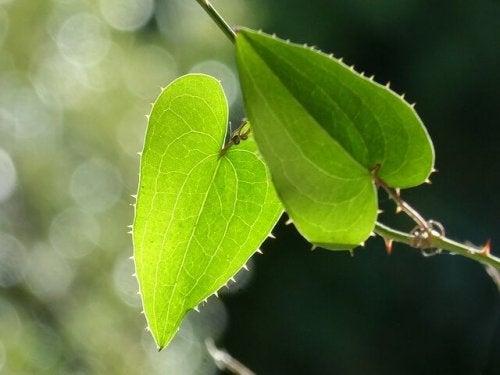 Salsaparrilha: benefícios, riscos e efeitos colaterais