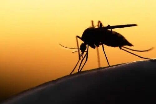 Mosquito da malária picando