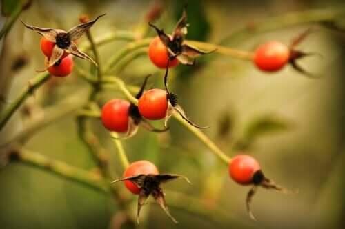 Benefícios e precauções do chá de rosa mosqueta