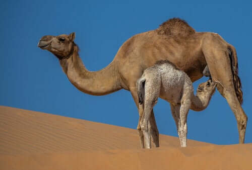 Leite de camela: propriedades e benefícios