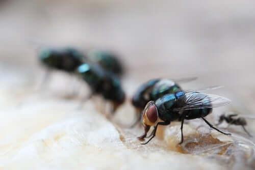 Doenças transmitidas por moscas