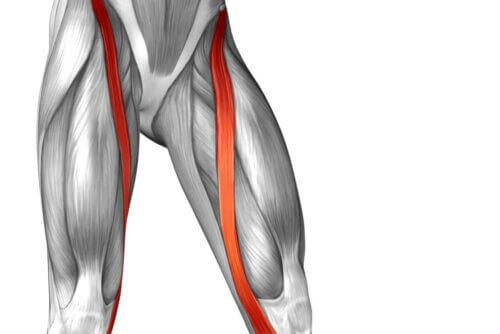 Anatomia do músculo sartório
