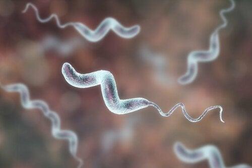 Bactérias do gênero Campylobacter