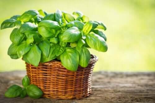 Tipos de manjericão que você pode cultivar no seu jardim