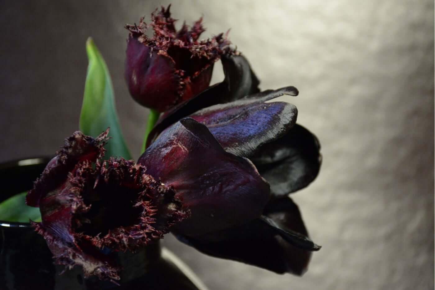 Tulipa preta