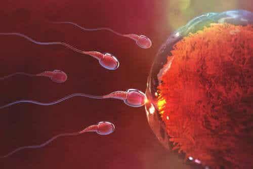 Quanto tempo demora a fecundação após a relação sexual?