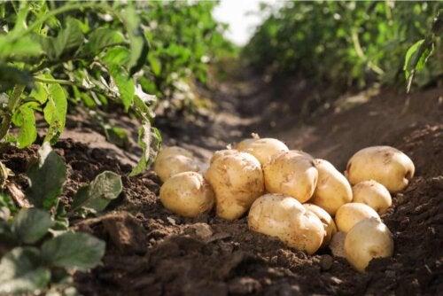 Benefícios de cultivar batatas em casa