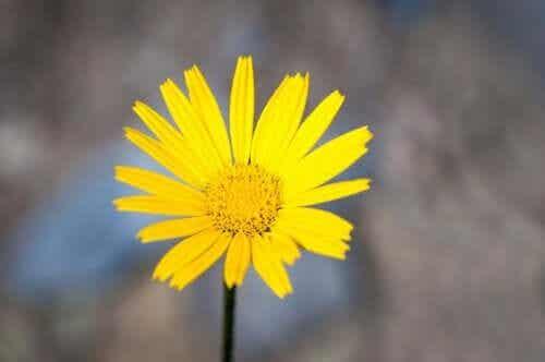 Propriedades e benefícios da raiz de helênio