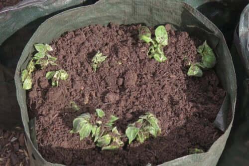 Como cultivar batatas em casa?