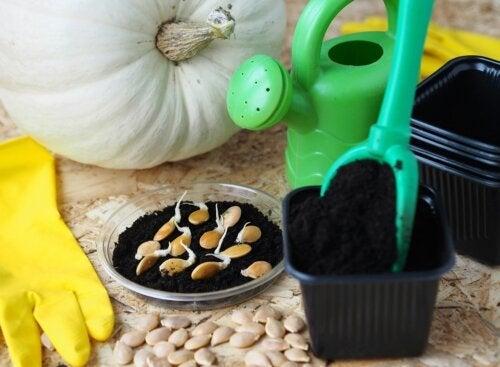 Dicas para plantar abóbora em casa