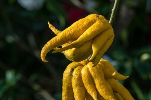 Mão de Buda: características nutricionais e propriedades